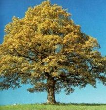 Пътят на Сътворението при плодното дърво