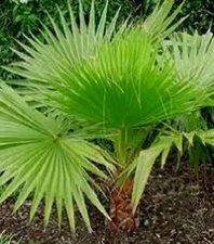 палма Вашингтон