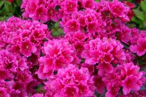 4 трика за обилен цъвтеж на АЗАЛИЯТА