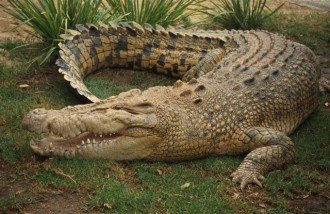 Нилски крокодил