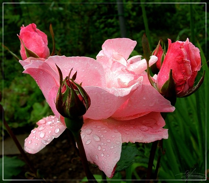 роза цвете