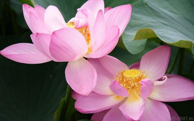 лотос цвете езеро