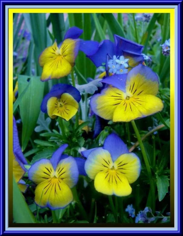 теменужки цветя
