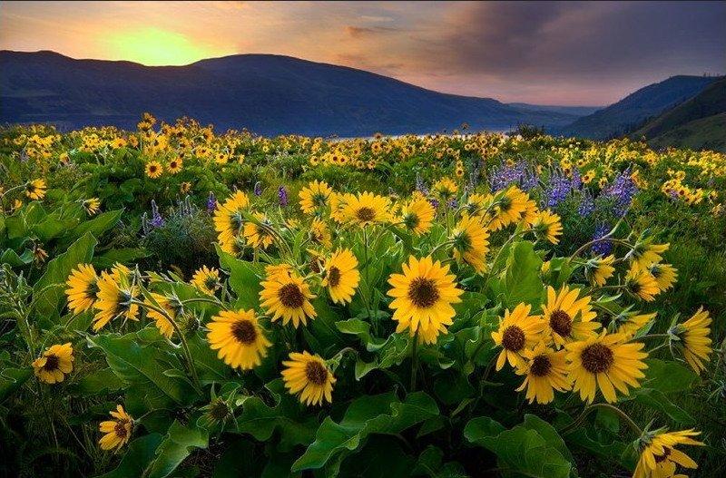 слънчоглед пейзаж