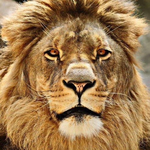 ЛЪВ-царят на животните