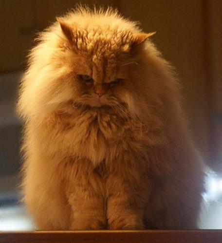 Снимка персийска котка