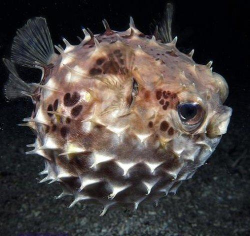 риба-таралеж